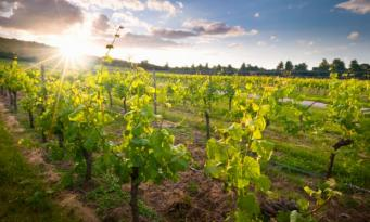 виноградник в Англии