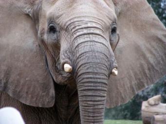 Африканские слоны способны различать пол человека по голосу