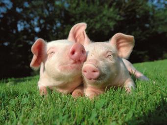 СМИ: британская армия взрывала свиней при испытаниях бронежилетов