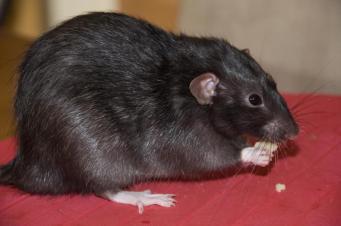 Нашествие крыс в Британии
