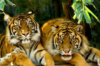 В зоопарке Британии появятся два спасенных тигра