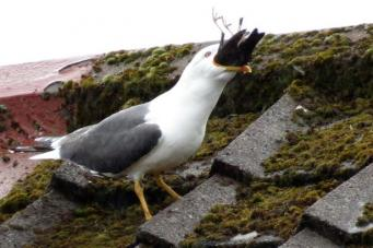 чайка-каннибал