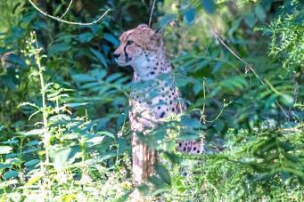 «Хватайте детей и спасайтесь»: в Сафари-парке графства Кент сбежал гепард