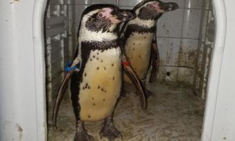Полиция вернула в зоопарк Ноттингема украденных пингвинов Гумбольдта