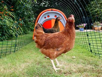 Жители Лондона увлеклись разведением куриц-несушек фото:omlet