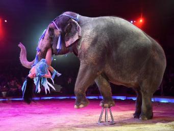Циркам в  Англии запретят представления с дикими животными