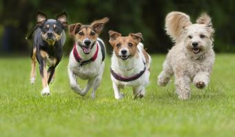 Французы победили англичан: у британских любителей собак сменились приоритеты фото:daily mail