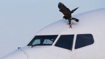 В аэропорту Хитроу похищен ястреб орнитологической службы