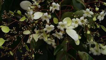 В Кардиффе впервые за сто лет зацвело южно-китайское дерево