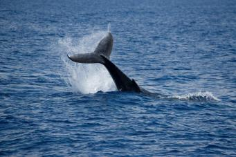 Появление кита-горбача у берегов Девона встревожило местных жителей фото:ibtimes.co.uk