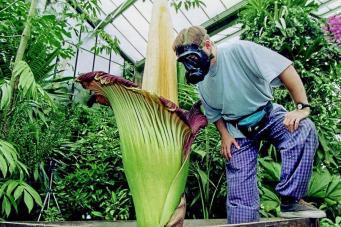 Кью Гарденс приглашает полюбоваться на самый вонючий цветок на планете фото:standard.co.uk