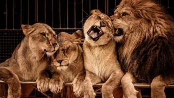 В Шотландии запретили цирки-шапито с дикими животными