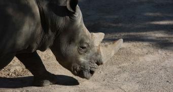 В Великобритании родился редкий черный носорог
