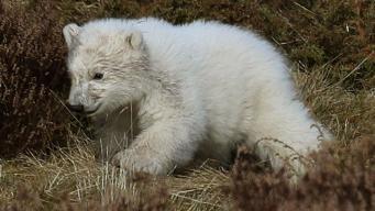 Зоопарк в Шотландии проводит конкурс на имя для белого медвежонка