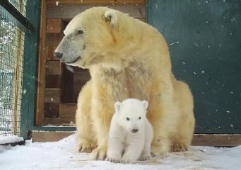 В шотландском зоопарке белый медвежонок впервые вышел  из берлоги