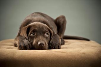В Великобритании запретят продажу щенков через зоомагазины