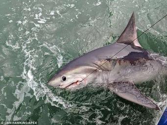 Крупная белая акула выловлена недалеко от побережья в Девоне