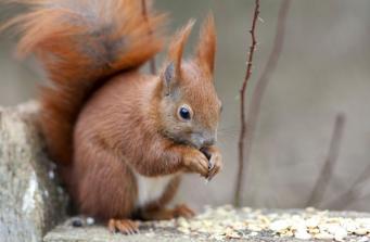 Рыжие белки вернулись в леса Шотландии фото:metro