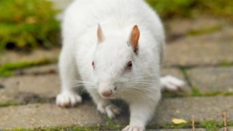 В Даличе замечена белка-альбинос