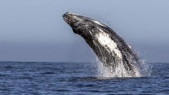 В воды Шотландии вернулись киты-горбачи