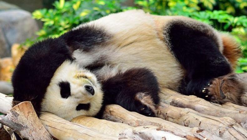 Британская панда покорила интернет