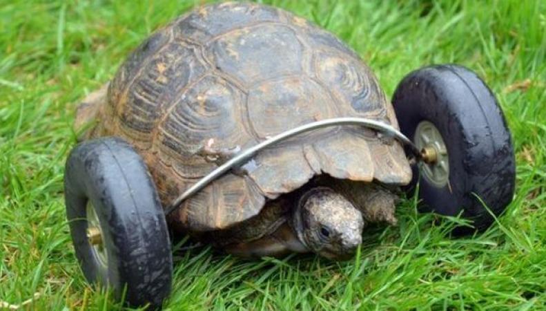 90 летней черепахе приделали колёса