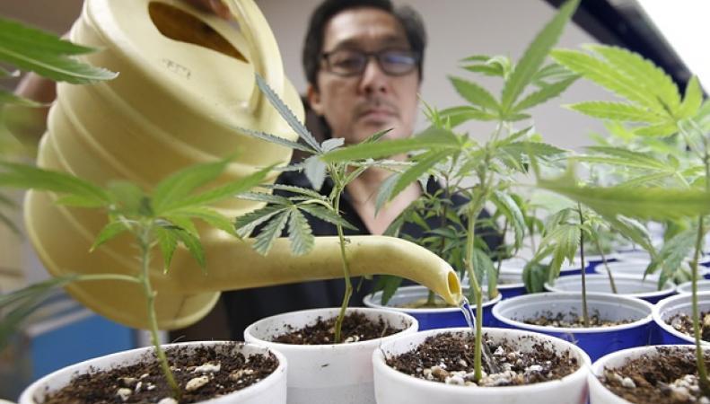Легализация марихуаны в великобритании конопля в белокурихе