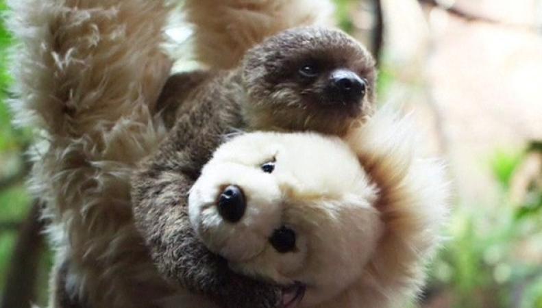 новорожденный ленивец