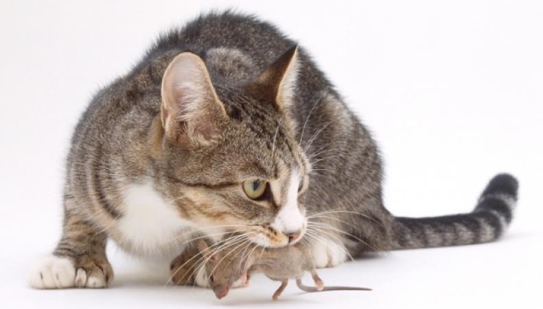 Кот-мышелов