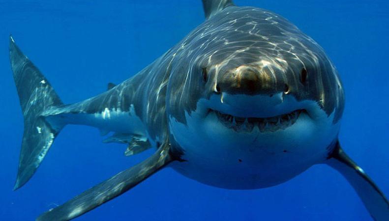 Калифорния: белая акула напала на людей