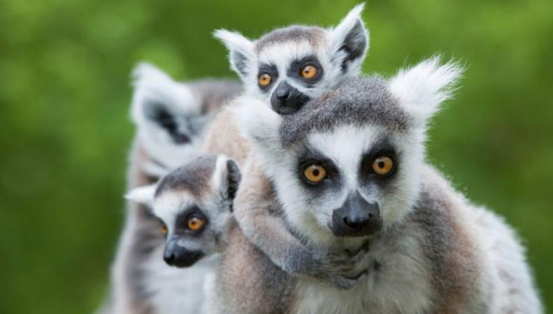 Ученые нашли способ спасти лемуров с Мадагаскара