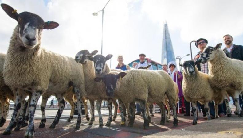 овцы в центре Лондона