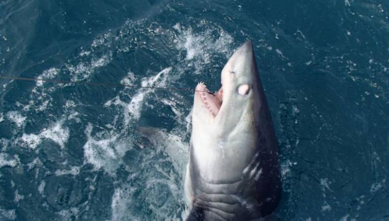 Акула-убийца весом в 400 фунтов была поймана в британских водах
