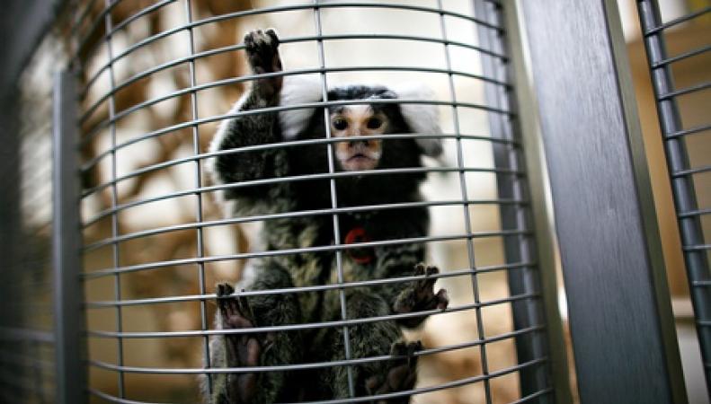 подопытная обезьяна