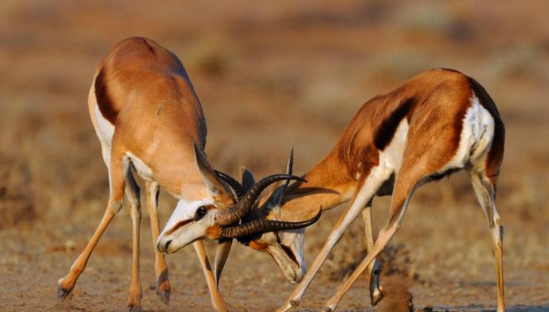 Мясо антилоп, возможно, разрешат поставлять в Россию из ЮАР и Намибии