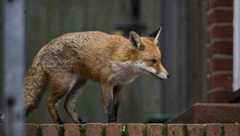 дикие лисы в Англии