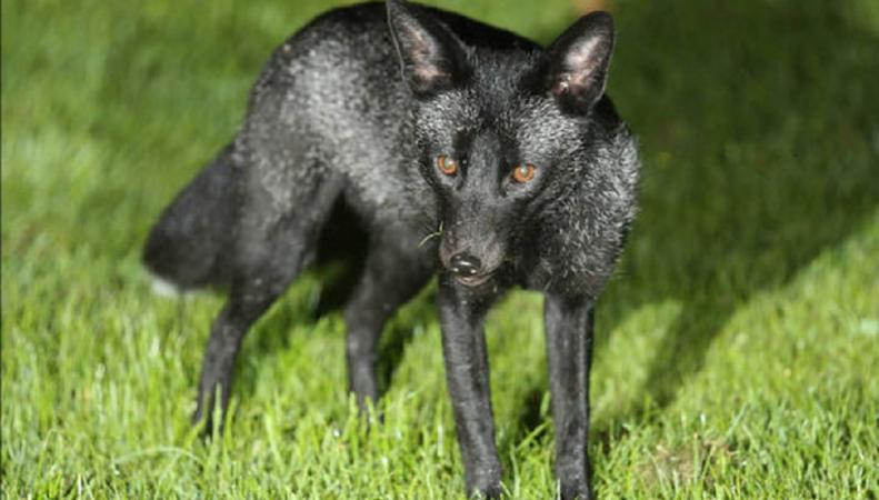 В Великобритании замечена редкая черная лисица