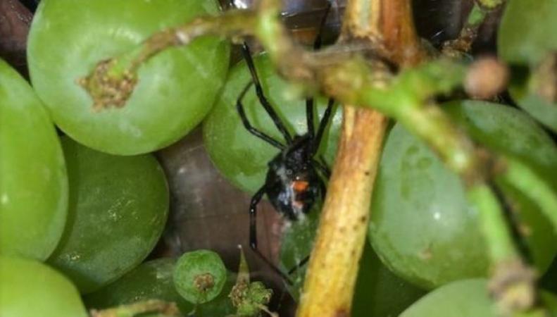 Ядовитый паук черная вдова