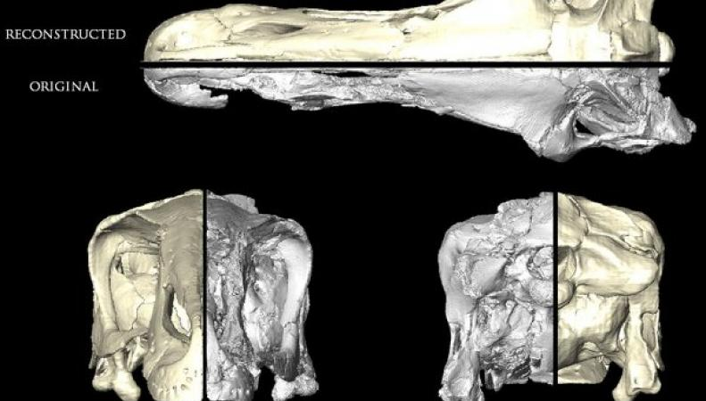Трехмерная модель черепа динозавра