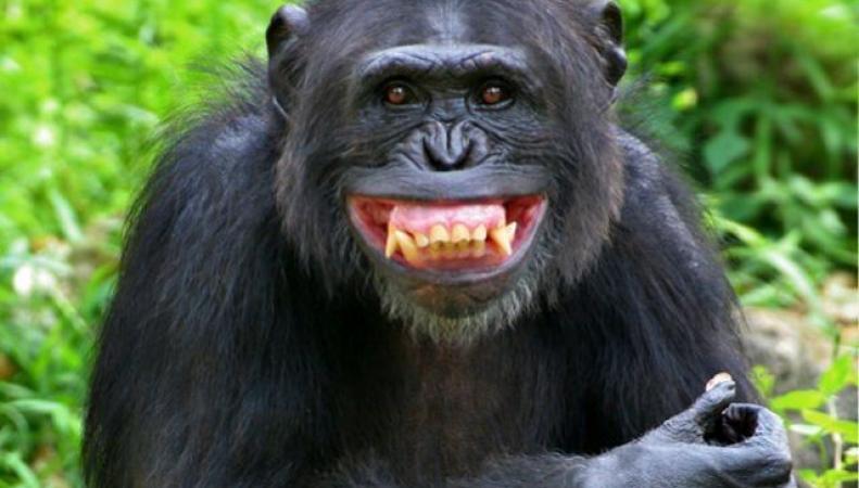 Британские ученые доказали, что шимпанзе тоже умеют по-разному улыбаться