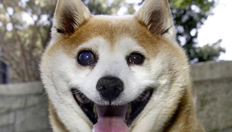 Самой счастливой собакой мира признана Синэмен Шиба