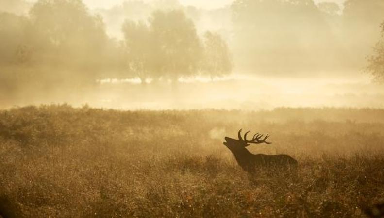 олень в полях