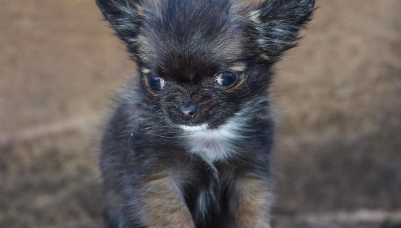 Самая маленькая собачка Великобритании считает себя котенком