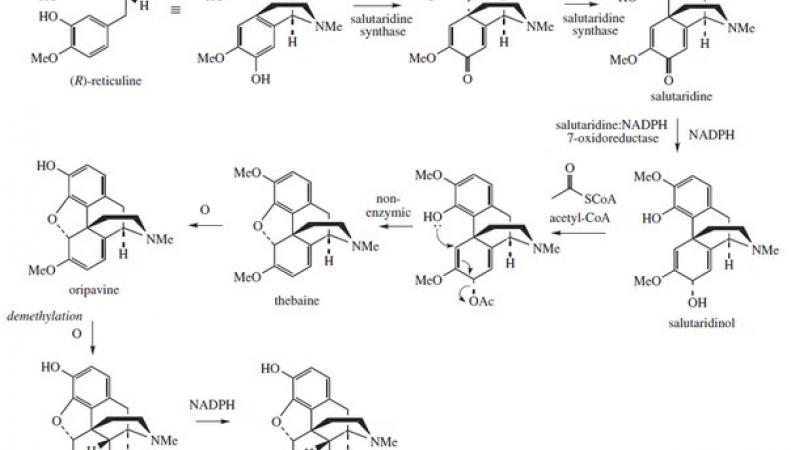 Фрагмент схемы биосинтеза морфина