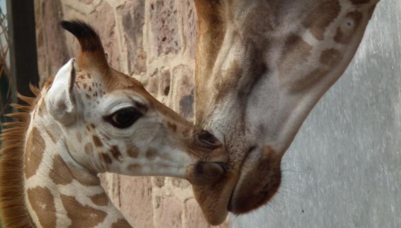 жирафы в зоопарке Честера