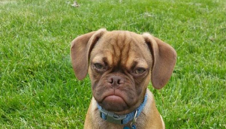 Сердитый щенок стал новой звездой интернета