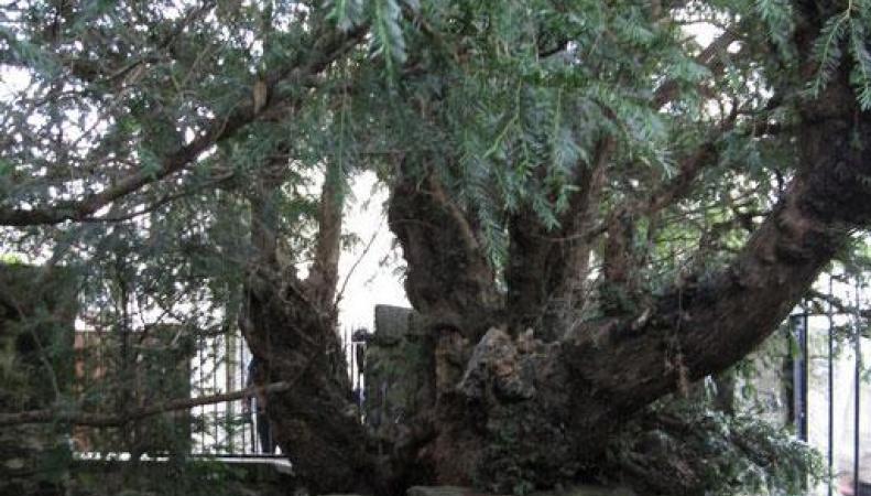 Старейшее дерево Британии сменило пол