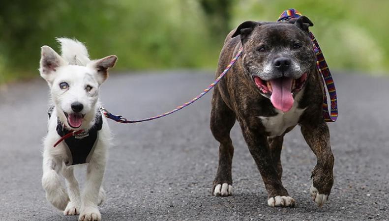 Слепой терьер и его бультерьер-поводырь выжили во время бури благодаря дружбе