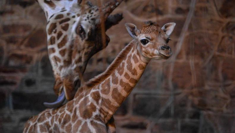 жирафы Ротшильда