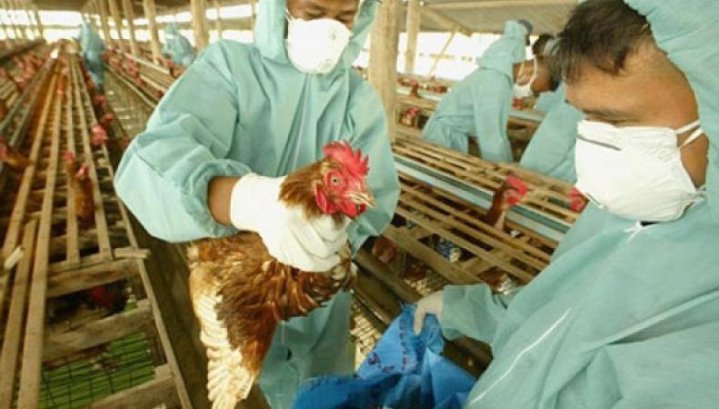 В США эпидемия птичьего гриппа